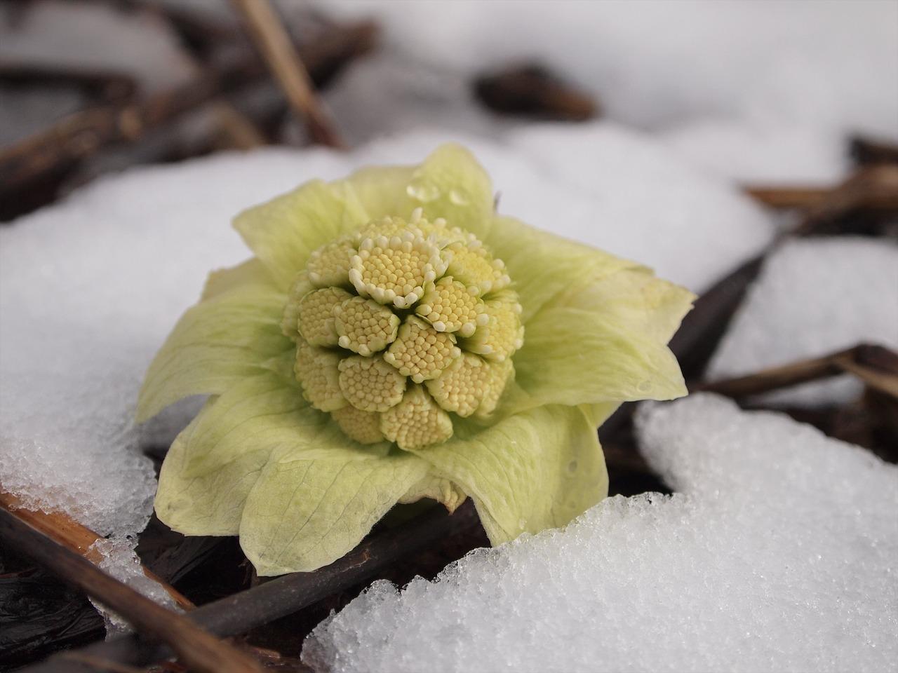 雪解けに吹き出た芽。